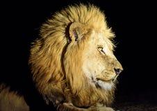 Tiro principal de un león masculino en la noche Imagenes de archivo