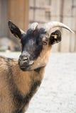 Tiro principal de una cabra marrón en una granja Imagen de archivo