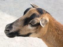 Tiro principal de una cabra marrón en una granja Imagenes de archivo