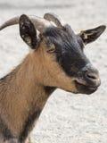 Tiro principal de una cabra marrón en una granja Fotos de archivo libres de regalías