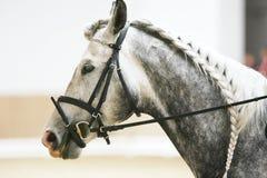 Tiro principal del caballo del deporte de la doma en la acción Foto de archivo libre de regalías