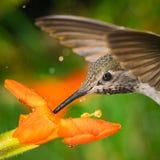Tiro principal del colibrí con dos hormigas foto de archivo