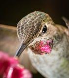 Tiro principal del colibrí con las plumas reflexivas rosadas foto de archivo libre de regalías