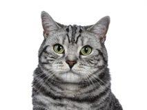 Tiro principal del gato atigrado de plata negro hermoso británicos Shorthair aislado en el fondo blanco y la mirada de la cámara Imagenes de archivo
