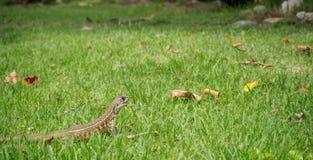 Tiro principal do close up do lagarto oriental do jardim Fotos de Stock Royalty Free