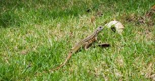 Tiro principal do close up do lagarto oriental do jardim Imagem de Stock Royalty Free