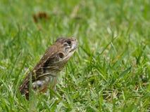 Tiro principal do close up do lagarto oriental do jardim Imagens de Stock