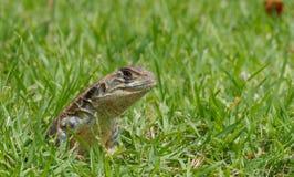 Tiro principal do close up do lagarto oriental do jardim Foto de Stock