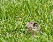 Tiro principal do close up do lagarto oriental do jardim Fotografia de Stock Royalty Free