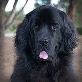 Tiro principal grande del perro negro de Terranova con la lengua que cuelga hacia fuera Imagenes de archivo