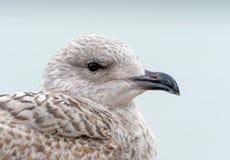 Tiro principal juvenil da gaivota de arenques imagem de stock