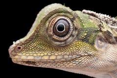 Tiro principal macro do grande lagarto de Anglehead Fotografia de Stock Royalty Free