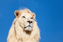 Tiro principal Portait del cielo azul del león blanco majestuoso Imagen de archivo libre de regalías
