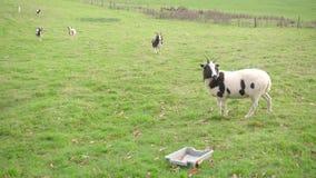 Tiro profundo de un campo del pasto con varias cabras del bagot que se colocan en el fondo, una cabra llena del cuerpo en el prim metrajes