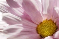Tiro rosado de la macro de la margarita foto de archivo libre de regalías