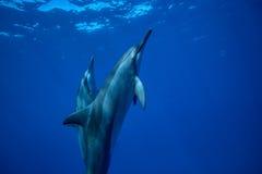 Tiro salvaje del primer de dos delfínes del hilandero fotos de archivo