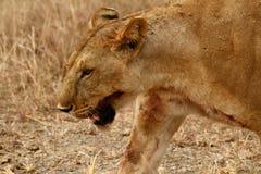 Tiro sangriento de la pista de la leona Imágenes de archivo libres de regalías