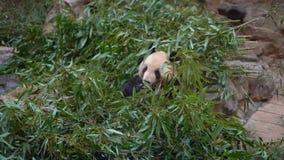 Tiro Slowmotion de um urso de panda adorável que senta-se entre os ramos e comer de bambu filme