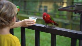 Tiro slowmotion super de uma mãe e de um filho em um parque do pássaro para alimentar um grupo de papagaios verdes e vermelhos co vídeos de arquivo