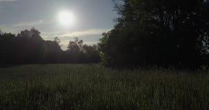 Tiro sonhador discreto O zangão voa para o ponto baixo do sol no campo, acompanhado dos milhares de insetos filme