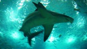 Tiro subacuático de Grey Reef Shark, encuentro del cierre metrajes