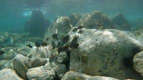 Tiro subaquático de uma escola dos peixes video estoque