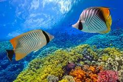 Tiro subaquático do recife de corais vívido com peixes Imagens de Stock