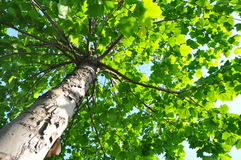 Tiro verde da copa de árvore de um baixo ângulo fotos de stock royalty free