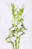 Tiro verde di bambù Immagine Stock