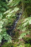 Tiro vertical de dosséis de árvore densos, verdes Imagens de Stock