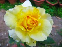 Tiro vibrante do macro da rosa do amarelo imagens de stock royalty free