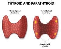 Tiroide e paratireoide. Foto de Stock