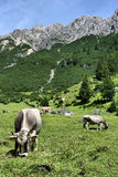 Tirol cows Royalty Free Stock Images