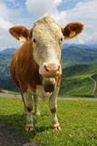 Tiroler cow. A Tiroler dairy cow, with the traditional bell around her neck, high in the mountains. A mountain scenery can be seen behind Stock Image