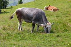 The Tiroler Grauvieh cow (Oberinntaler Grauvieh) Royalty Free Stock Image