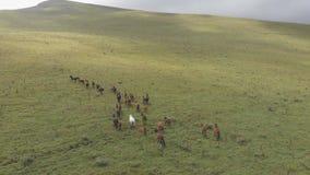 Tiros aéreos de una manada de los caballos que corren a través de un valle de la montaña metrajes