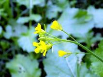 Tiros das imagens reais da flor de Musturd na manhã Fotografia de Stock Royalty Free