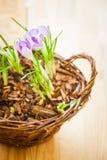 Tiros de açafrões da mola em uma cesta Fotografia de Stock Royalty Free