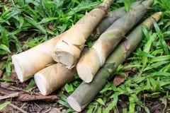 Tiros de bambu Fotos de Stock