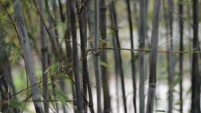 Tiros de bambu video estoque