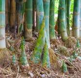 Tiros de bambu Fotos de Stock Royalty Free