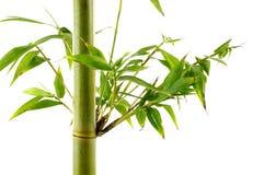 Tiros de bambu frescos verdes tropicais Imagem de Stock