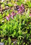 Tiros de florescência de orquídeas da floresta Fotografia de Stock