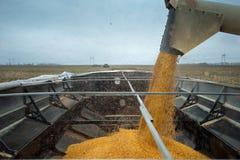 Tiros de la cosechadora en el camión cosechado del grano Fotos de archivo