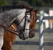 Tiros de la pista de caballo Imagen de archivo