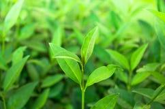 Tiros do chá verde Fotos de Stock
