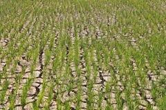 Tiros do verde do arroz crescidos na terra seca Imagem de Stock
