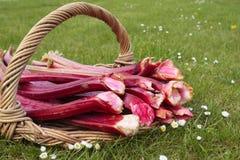 Tiros frescos do rhubarb Fotos de Stock Royalty Free