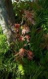 Tiros novos com as folhas cor-de-rosa na máscara de uma árvore, contra um fundo da grama verde imagens de stock royalty free