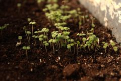 Tiros novos do erva-cidreira em um potenciômetro imagens de stock royalty free